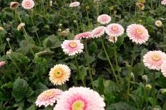 Gerbera-roz